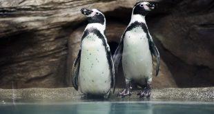 Милые пингвины стали «почетными» гостями на открытии турнира в Челябинске.