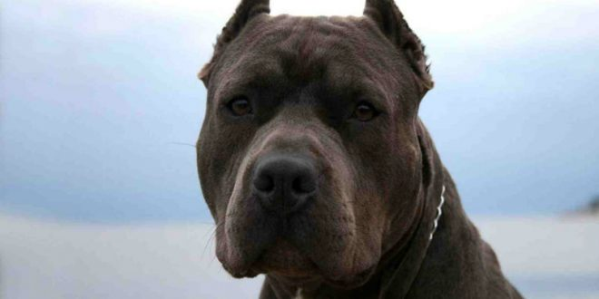 В Якутске бойцовский пес насмерть загрыз новорожденную дочь заводчицы