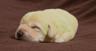 Удивительный щенок с зеленой шерстью появился на свет ─ Daily Mail