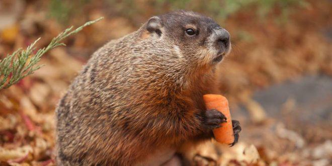 Праздник отменяется: предсказывающий весну канадский сурок поел морковки и умер – СМИ