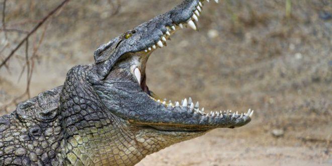 Видео: Американский зверолов голыми руками вытащил застрявшего в люке аллигатора
