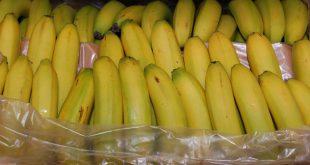 В Петербург привезли эквадорские бананы с кокаином