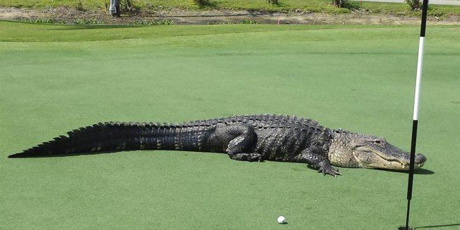 Американский гольфист непринужденно вытолкал аллигатора с поля во время игры