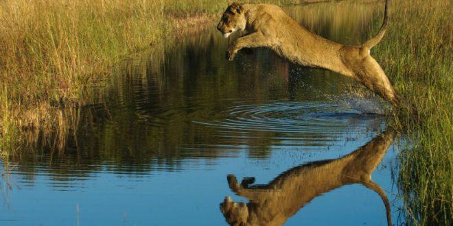 В мексиканском сафари-парке неуклюжая львица прыгнула прямо в пропасть, пытаясь напугать туристов