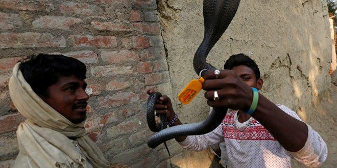 В Индии турист погиб от укуса кобры, с которой он позировал для фотографии
