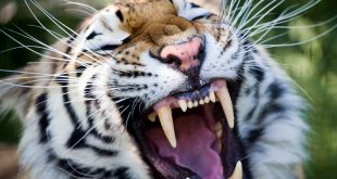 Разгуливающий по хабаровскому торговому центру тигр попал на видео