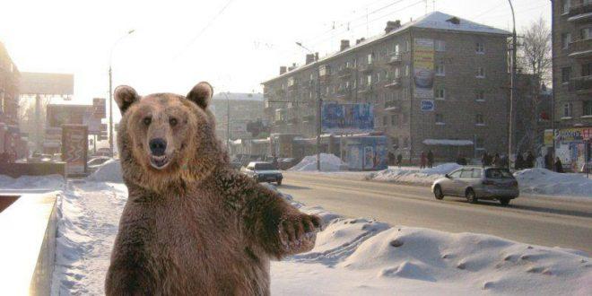 Администрация Троицка озаботилась медведем, свободно разгуливающим по центру города