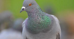 Шотландка шокировала прохожих, попытавшись оживить голубя при помощи искусственного дыхания