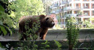 В центре Челябинска возле жилых домов гулял беспризорный медведь
