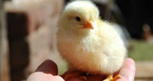 У французского художника после почти месяца высиживания яиц вылупился первый цыпленок