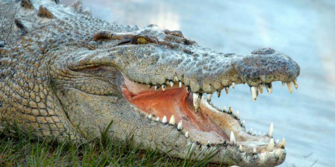В США 10-летняя девочка самостоятельно разжала пасть напавшему на нее в парке аллигатору
