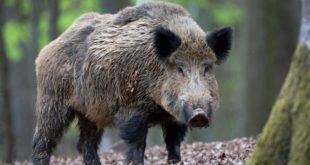 В лесу под Веной британскому послу пришлось спасаться бегством от дикого кабана