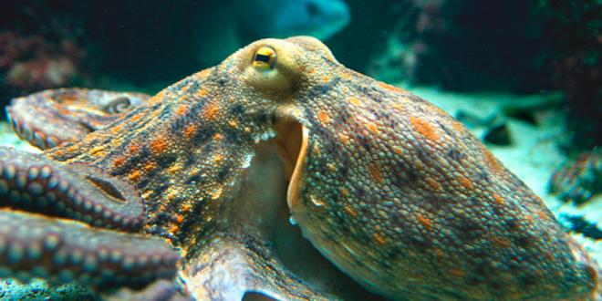Гигантский осьминог предпринял попытку побега из Приморского океанаруима