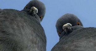 В Кувейте поймали голубя, переносившего наркотики в наспинном рюкзачке