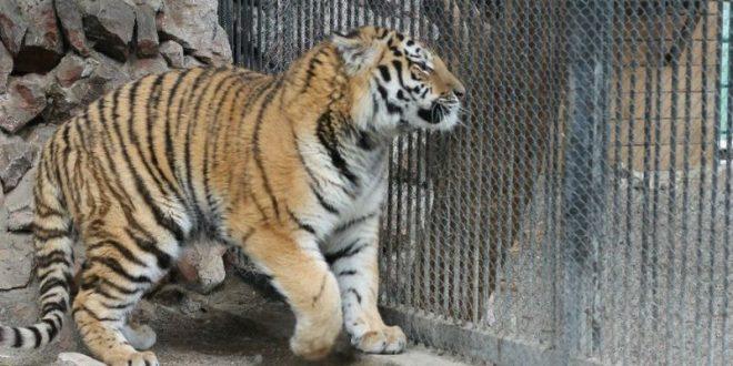 В Великобритании не вовремя зашедший в вольер тигр растерзал смотрительницу зоопарка