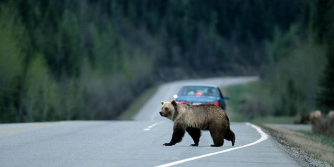 На Урале разыскивают медведя, спровоцировавшего ДТП и скрывшегося с места происшествия