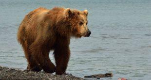 Отдыхавший на природе житель Камчатки чуть не погиб от лап напавшего на него медведя