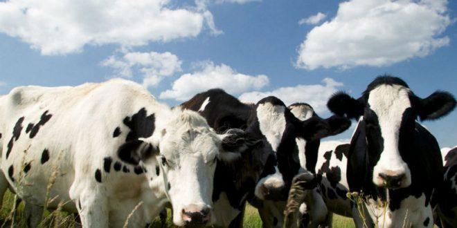 В Британии стадо коров насмерть затоптало ученого-мультимиллионера