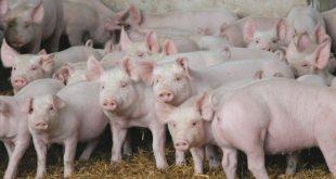 В Омске собутыльники убили фермера и скормили его тело свиньям ради 200 тыс. рублей