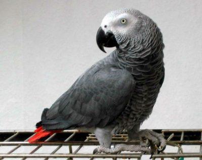 Американку осудили за убийство мужа благодаря показаниям попугая