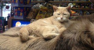На Аляске в возрасте 20 лет умер кот, занимавший должность мэра