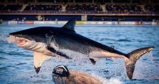 Майкл Фелпс уступил первое место белой акуле в заплыве на 100 метров