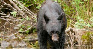 Японский пенсионер отбился от медведя, используя приемы каратэ