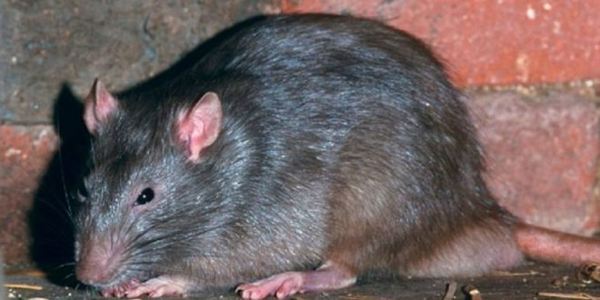 Видео: Во Вьетнаме женщина оказалась в западне с агрессивной крысой